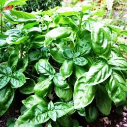 basil_plant