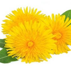 Dandelion flowers with leaves
