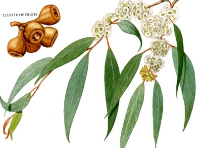 The Psychological Aspects of Eucalyptus Essential Oil