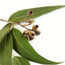 oils-eucalyptus