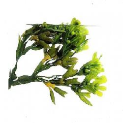 bladderwrack-seaweed-herb
