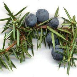 juniper-berry-needles