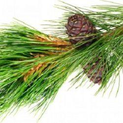 pine-needle-cone-oil-compressor